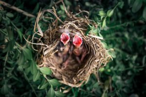 Image of baby birds with mouths open